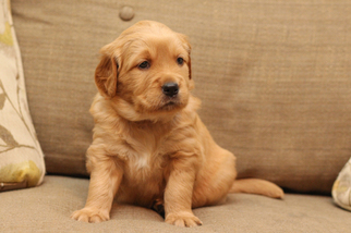 Golden Retriever Puppy For Sale in UNICOI, TN, USA