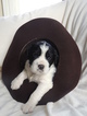 Puppy 0 English Springer Spaniel