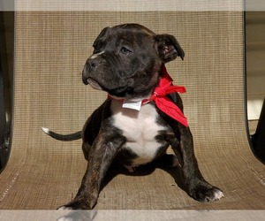 American Pit Bull Terrier Puppy for sale in LONGVIEW, TX, USA