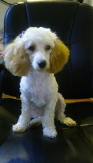 Poodle (Toy) Puppy For Sale in BROOKLYN, NY