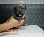 Small Photo #3 French Bulldog Puppy For Sale in GRAHAM, WA, USA