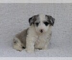 Small Photo #1 Old English Sheepdog-Poodle (Miniature) Mix Puppy For Sale in FREDERICKSBG, OH, USA