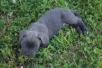 Cane Corso Puppy For Sale in SPRINGFIELD, MO, USA