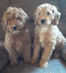 Goldendoodle (Miniature) Puppy For Sale in CURTISS, WI, USA