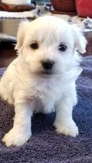 Zuchon Puppy For Sale in SHAWNEE, KS, USA