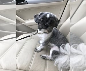 Shih Tzu Puppy for sale in NO HAVEN, CT, USA