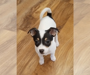 Rat-Cha Puppy for Sale in CEDARWOOD, Colorado USA