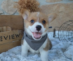 Pembroke Welsh Corgi Puppy for sale in HONEY BROOK, PA, USA