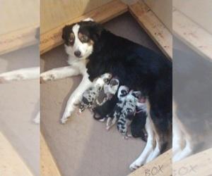 Australian Shepherd Puppy for sale in AUSTIN, CO, USA