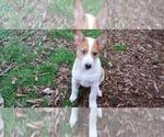 Puppy 3 Cattle Collie Dog