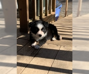 Australian Shepherd Puppy for Sale in CAMAS, Washington USA