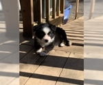 Australian Shepherd Puppy For Sale in CAMAS, WA, USA