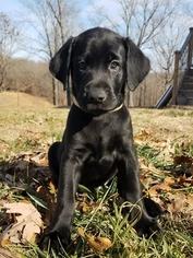 Labrador Retriever Puppy for sale in AVA, MO, USA