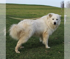 Father of the Siberian Husky-Standard Spitz Mix puppies born on 04/30/2020
