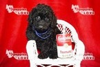 Poodle (Toy) Puppy For Sale in SANGER, Texas,