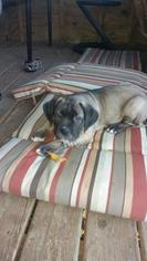 Mastiff Puppy For Sale in WHEELING, IL
