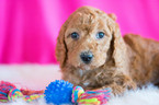 Poodle (Standard) Puppy For Sale in KENT, OH, USA