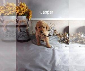 Golden Retriever Puppy for sale in KOKOMO, IN, USA