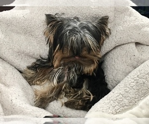 Father of the Yorkshire Terrier puppies born on 12/25/2020