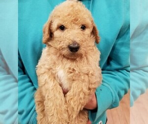 Labradoodle Puppy for Sale in REXBURG, Idaho USA
