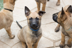 Belgian Malinois Puppy For Sale in IMPERIAL BEACH, CA