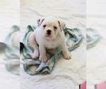 Small Miniature Bulldog