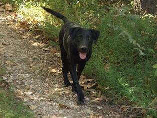 Labrador Retriever-Unknown Mix Dog For Adoption in BATESVILLE, AR, USA