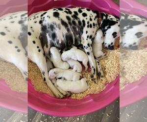 Dalmatian Puppy for Sale in DURANT, Oklahoma USA