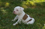 Olde English Bulldogge Puppy For Sale in CABOOL, MO,