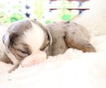 Small Photo #6 Australian Shepherd Puppy For Sale in STAFFORD, VA, USA