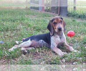 Bluetick Coonhound Dog for Adoption in MACON, Missouri USA