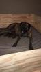 Bullmastiff Puppy For Sale in EAST BRIDGEWATER, Massachusetts,