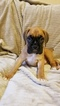 Boxer Puppy For Sale in SACRAMENTO, CA, USA