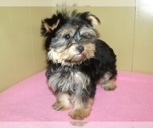 Morkie Dog for Adoption in PATERSON, New Jersey USA