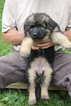German Shepherd Dog Puppy For Sale in GATES MILLS, OH
