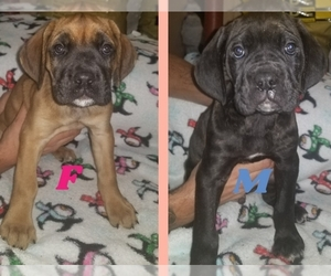 Cane Corso Puppy for sale in BETHEL, PA, USA