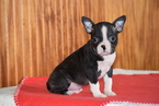 Boston Terrier Puppy For Sale in FREDERICKSBURG, OH,
