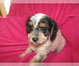 Cavapoo Puppy for sale in BREEZEWOOD PARK, IN, USA