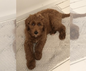 Goldendoodle-Poodle (Standard) Mix Puppy for sale in GPT, MS, USA