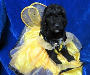 Poodle (Standard) Puppy for Sale in HARTVILLE, Missouri USA