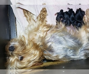 Mother of the Yoranian-Yorkshire Terrier Mix puppies born on 01/01/2021
