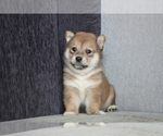 Small Photo #5 Shiba Inu Puppy For Sale in MIAMI, FL, USA