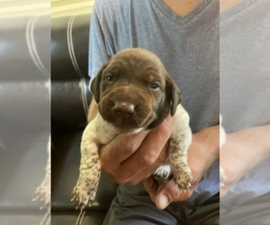 German Shorthaired Pointer Puppy for Sale in AZLE, Texas USA