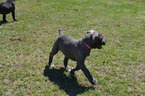 Cane Corso Puppy For Sale in FORT MITCHELL, AL