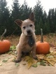 Australian Cattle Dog Puppy For Sale in BONNERS FERRY, ID, USA