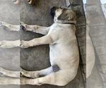 Small #2 Bullmastiff-Cane Corso Mix