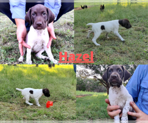 German Shorthaired Pointer Puppy for sale in BLANCO, TX, USA