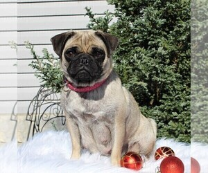 Mother of the Pug puppies born on 10/09/2020