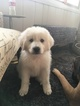 Great Pyrenees Puppy For Sale in HILLMAN, Minnesota,