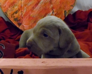 Weimaraner Puppy For Sale in DEFUNIAK SPRINGS, FL